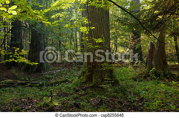 Group of giant oaks in natural forest - csp8255648