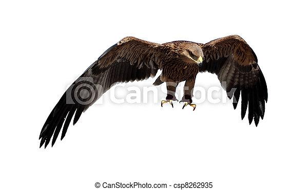 Steppe eagle. (Aquila rapax) - csp8262935