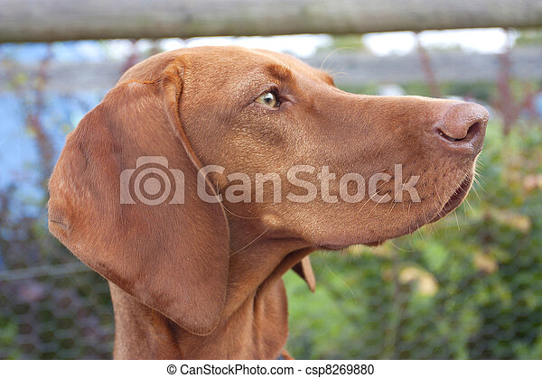 Stock Photography of hungarian vizsla dog - a side view of the ...