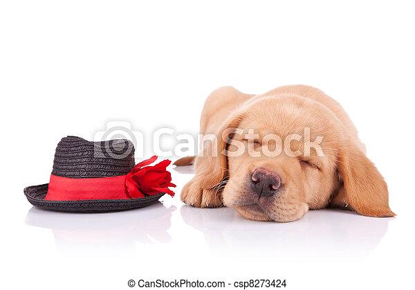 tired little show dog - csp8273424