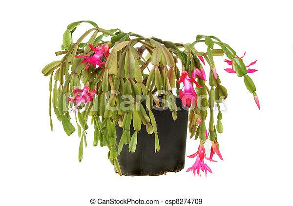 stock fotografien von pflanze kaktus weihnachten bl hen weihnachten kaktus csp8274709. Black Bedroom Furniture Sets. Home Design Ideas