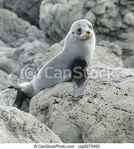 Juvenile Fur Seal - csp8275493
