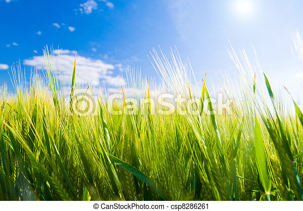 Wheat field. Agriculture - csp8286261