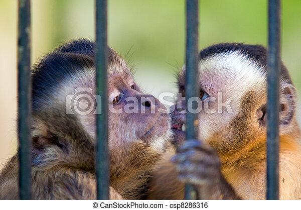 Monkey species Cebus Apella behind bars - csp8286316