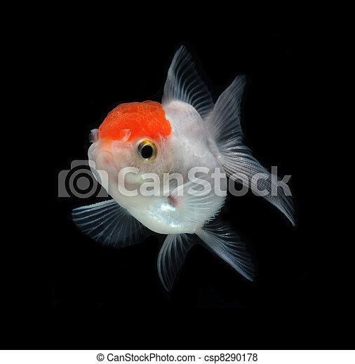 Images de blanc poisson rouge sur noir fond csp8290178 for Tarif poisson rouge