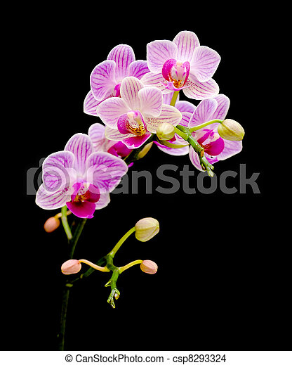 branch bloom orchids on a black background - csp8293324