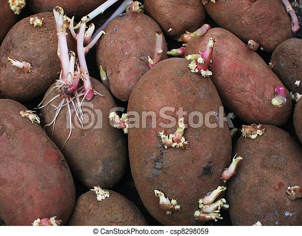 sprouting potatoes. - csp8298059