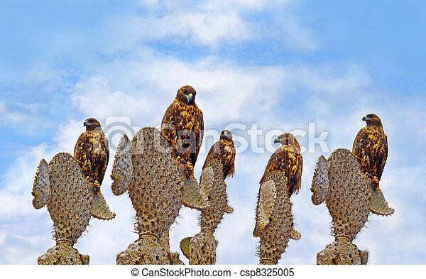 Galapagos Hawks on Santa Fe - csp8325005