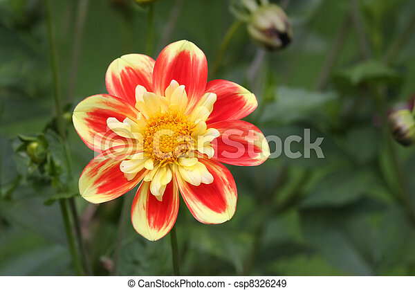 Beautiful flower in red and yellow shines like a sun.