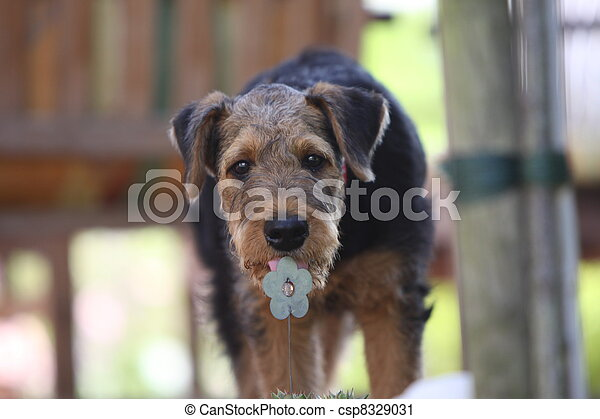 Airedale Terrier puppy licks on an artificial flower - csp8329031