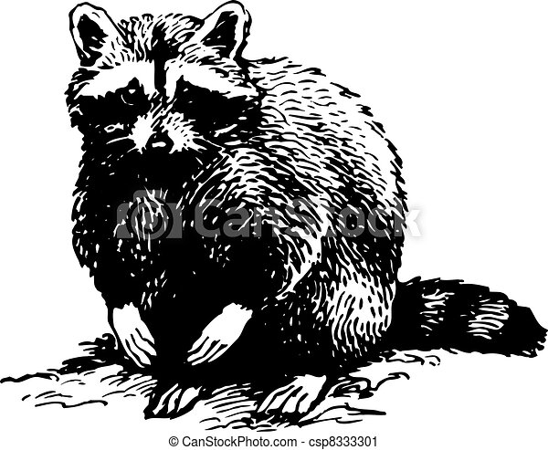 Racoon isolated on white  Raccoon Clipart Black And White