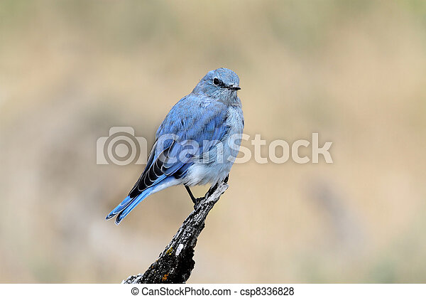 Mountain Bluebird - csp8336828