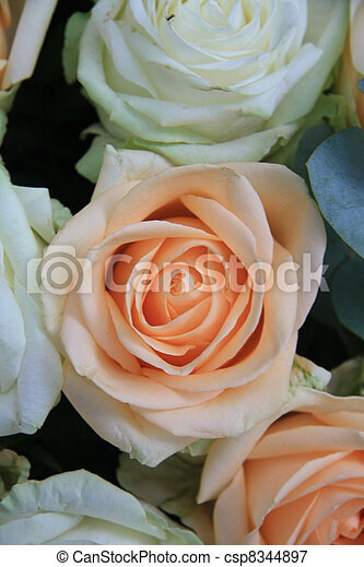 Soft orange rose in close up - csp8344897