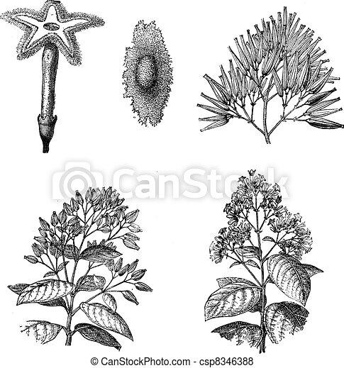 Three different species of Cinchona plant vintage engraving - csp8346388