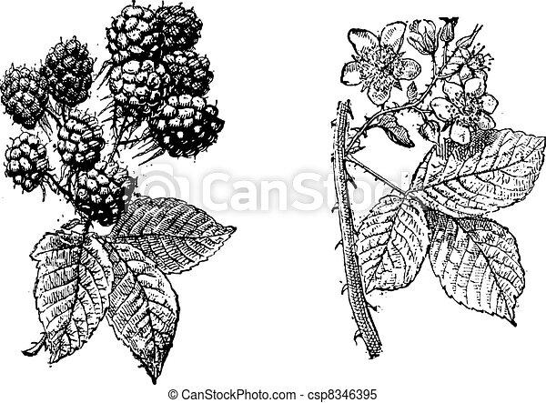 Blackberry flower, Blackberry fruit, vintage engraving. - csp8346395