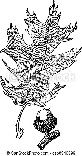 Black oak or Quercus velutina vintage engraving - csp8346399
