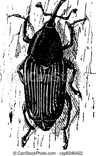 Rhynchophorus ferrugineus or Red palm weevil or Asian palm weevil or Sago palm weevil, vintage engraved illustration. Dictionary of words and things - Larive and Fleury - 1895. - csp8346422