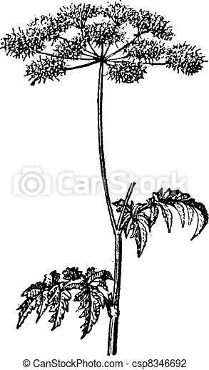 Chaerophyllum temulum or Rough Chervil vintage engraving - csp8346692