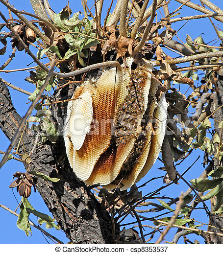 Wild Bee Hive in Pecan Tree - csp8353537