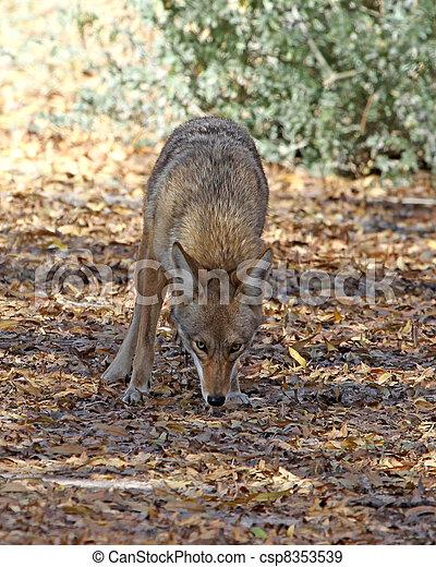 Coyote in Tucson 3 - csp8353539