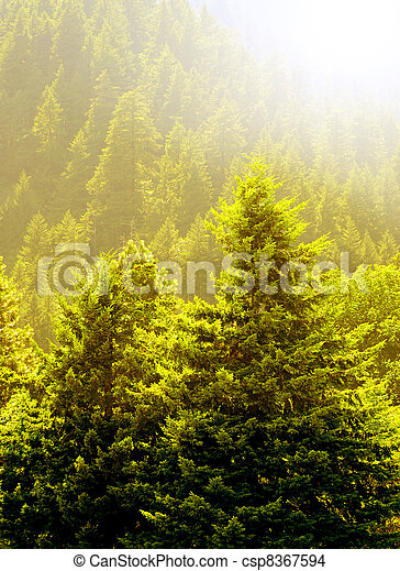 Pine Trees and Early Summer Light - csp8367594