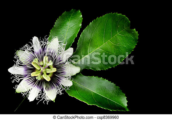 Passion Fruit Flower Isolated on Black - csp8369960