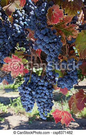 Wine Grapes at Harvest Time - csp8371482