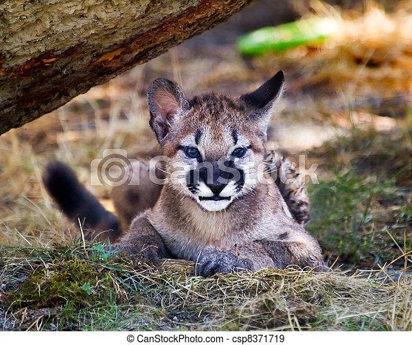banque de photographies de montagne puma concolor jeune puma lion chaton csp8371719. Black Bedroom Furniture Sets. Home Design Ideas
