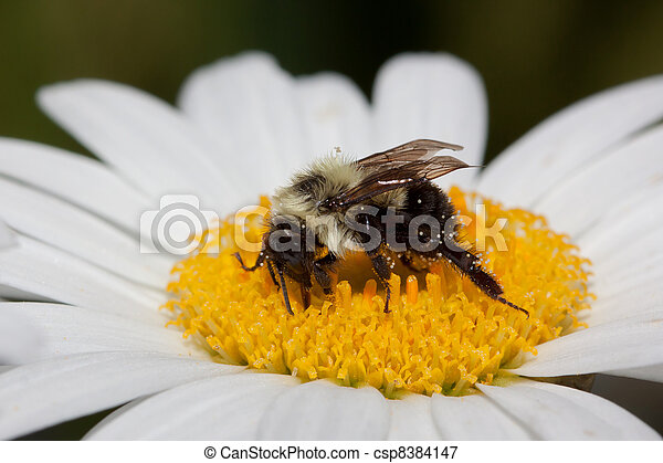 bumble bee sips nectar from a daisy - csp8384147