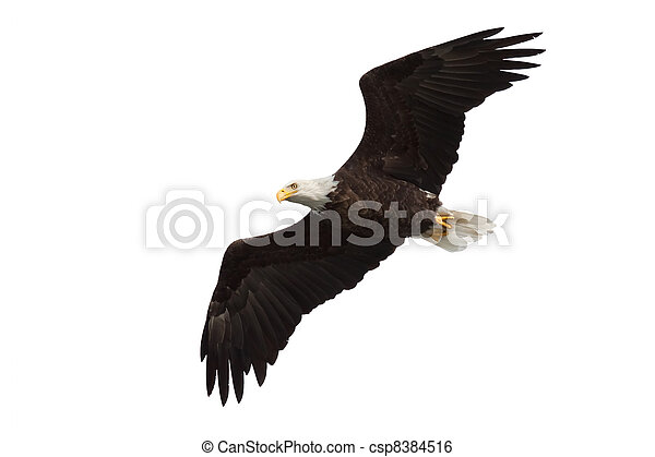 spread wing bald eagle soars across the sky - csp8384516