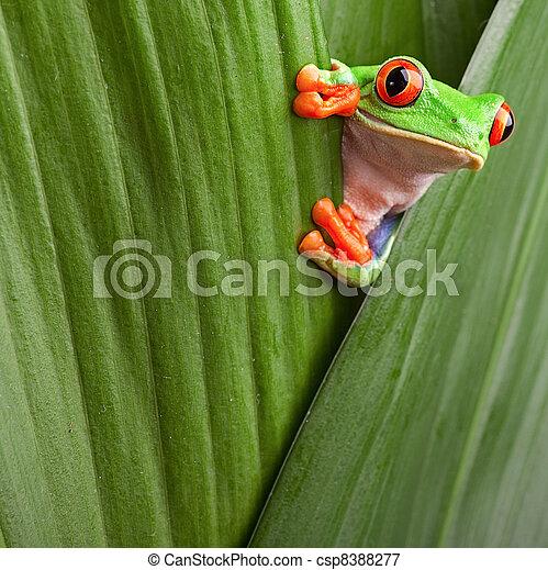 red eyed tree frog  - csp8388277