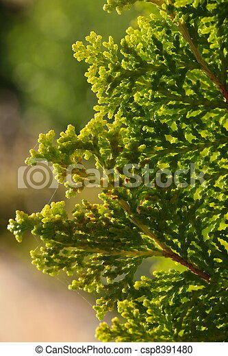 Pinus Leaf Close Up - csp8391480