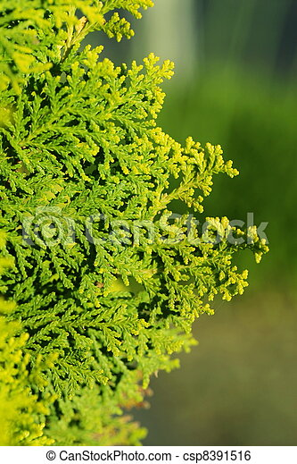 Pinus Leaf Close Up - csp8391516