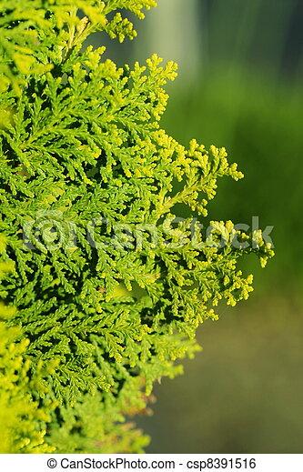Pinus Leaf Close Up - csp8391516
