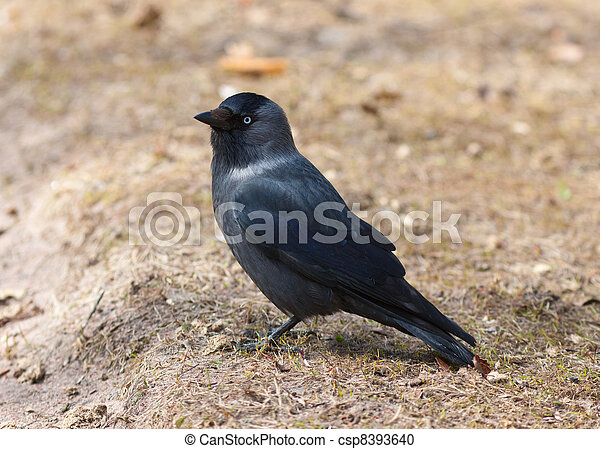 Portrait of a jackdaw - csp8393640