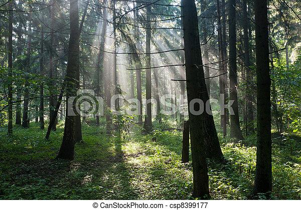Sunbeam entering hornbeam deciduous forest - csp8399177