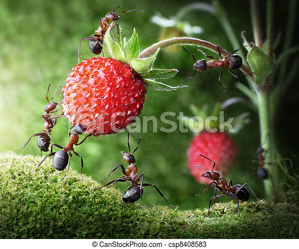 team of ants picking wild strawberry, agriculture teamwork - csp8408583