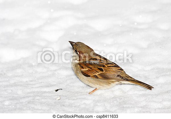 house sparrow in snow - csp8411633