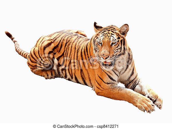 Asia tiger - csp8412271