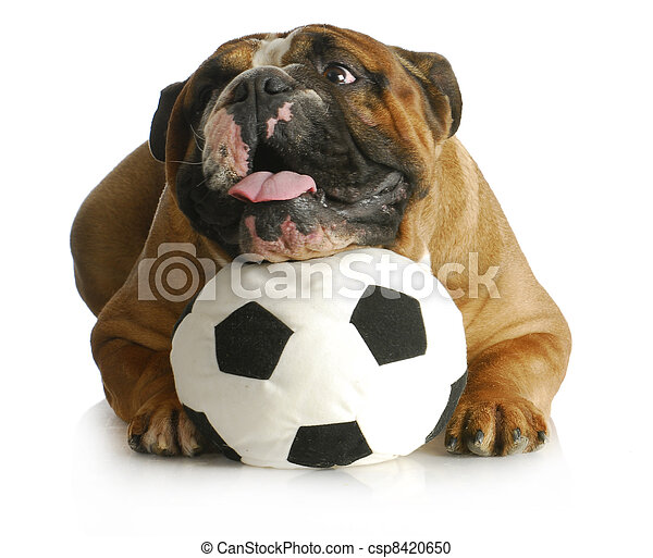 dog playing with ball - csp8420650