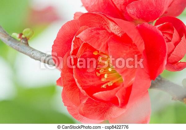 Quince flower on twig - csp8422776