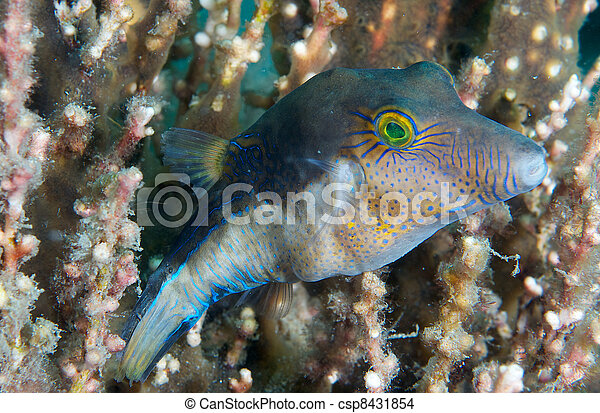 Sharpnose Puffer sheltering in soft coral. - csp8431854