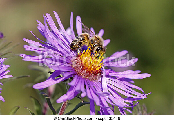 Honey bee on New England Aster - csp8435446