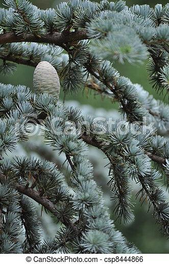 Cone of the Blue Atlas Cedar - csp8444866