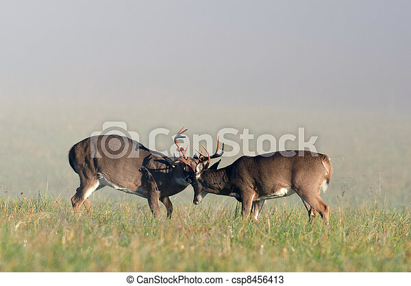 Two whitetail deer bucks sparring - csp8456413