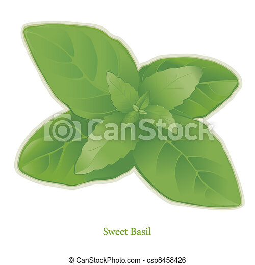 Sweet Basil Herb - csp8458426