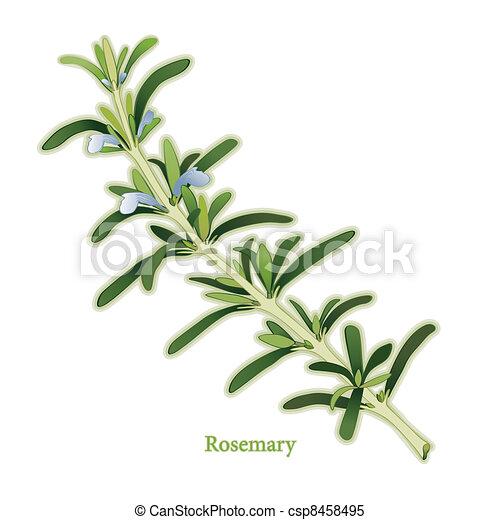 迷迭香, 藥草 - csp8458495