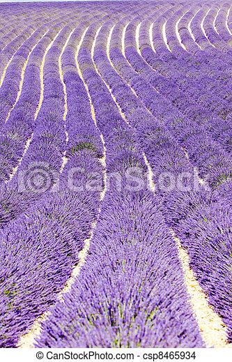 lavender field, Plateau de Valensole, Provence, France - csp8465934