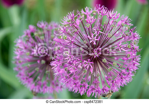 Onion flower decoration, Latin. Allium hollandicum - csp8472381