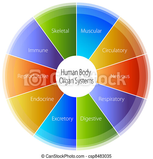 Human Body Organ Systems Chart - csp8483035